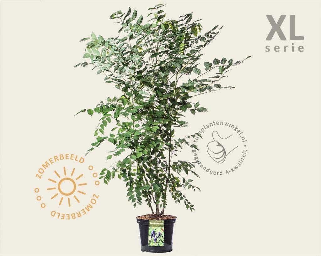 Decaisnea fargesii - XL