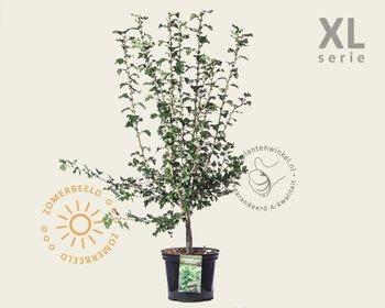 Crataegus laevigata 'Paul's Scarlet' - XL