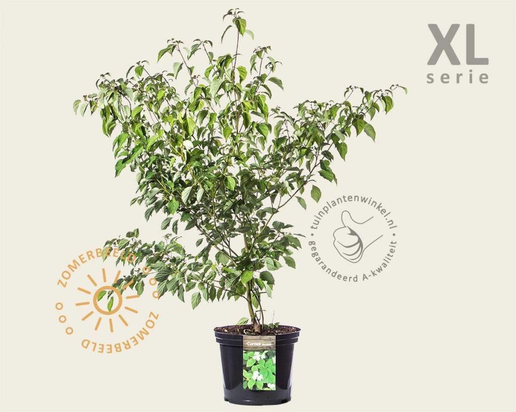 Cornus alternifolia - XL