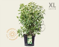 Clethra alnifolia 'Pink Spire' - XL