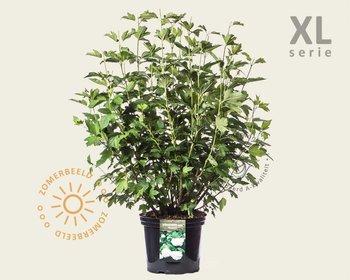 Viburnum opulus ´Roseum´ - XL