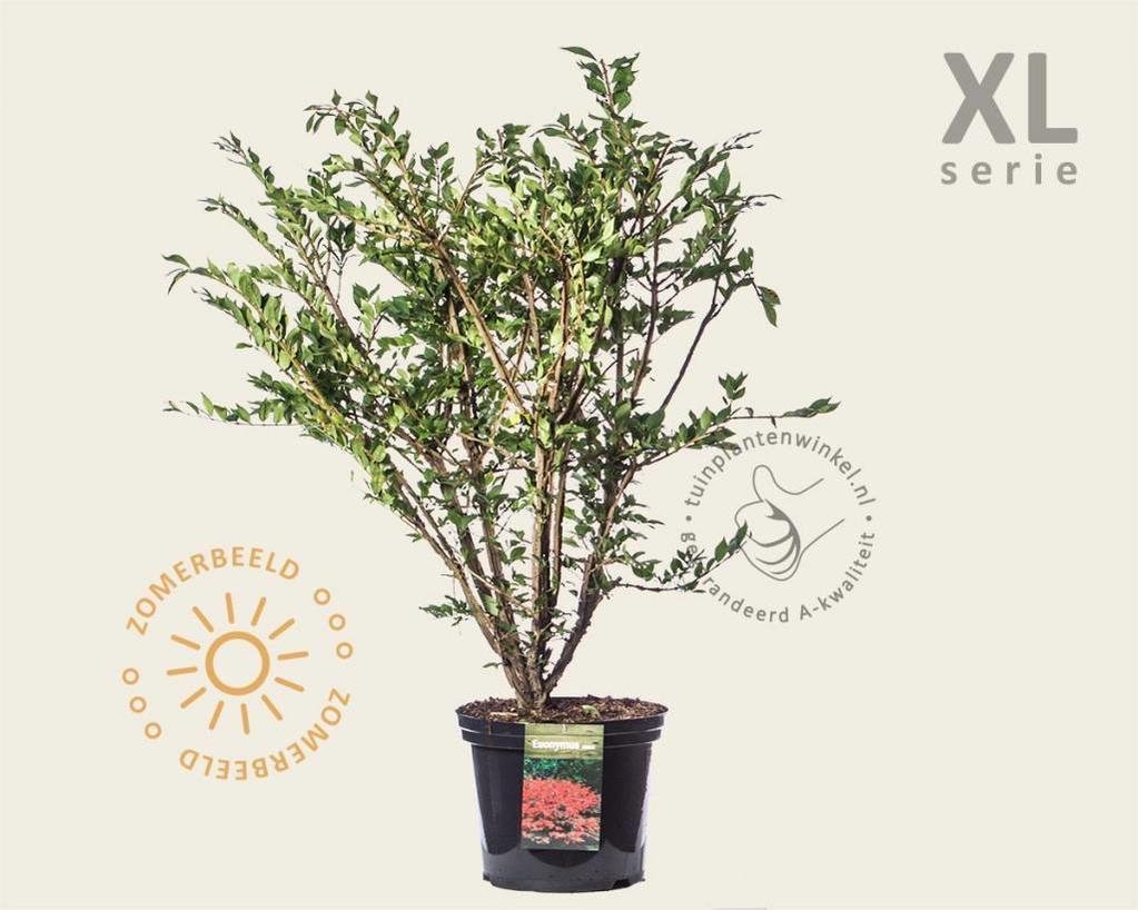 Euonymus alatus - XL