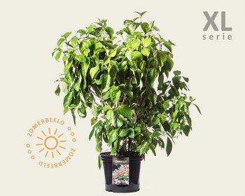 Cornus florida - XL