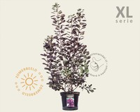 Cotinus coggygria 'Royal Purple' - XL
