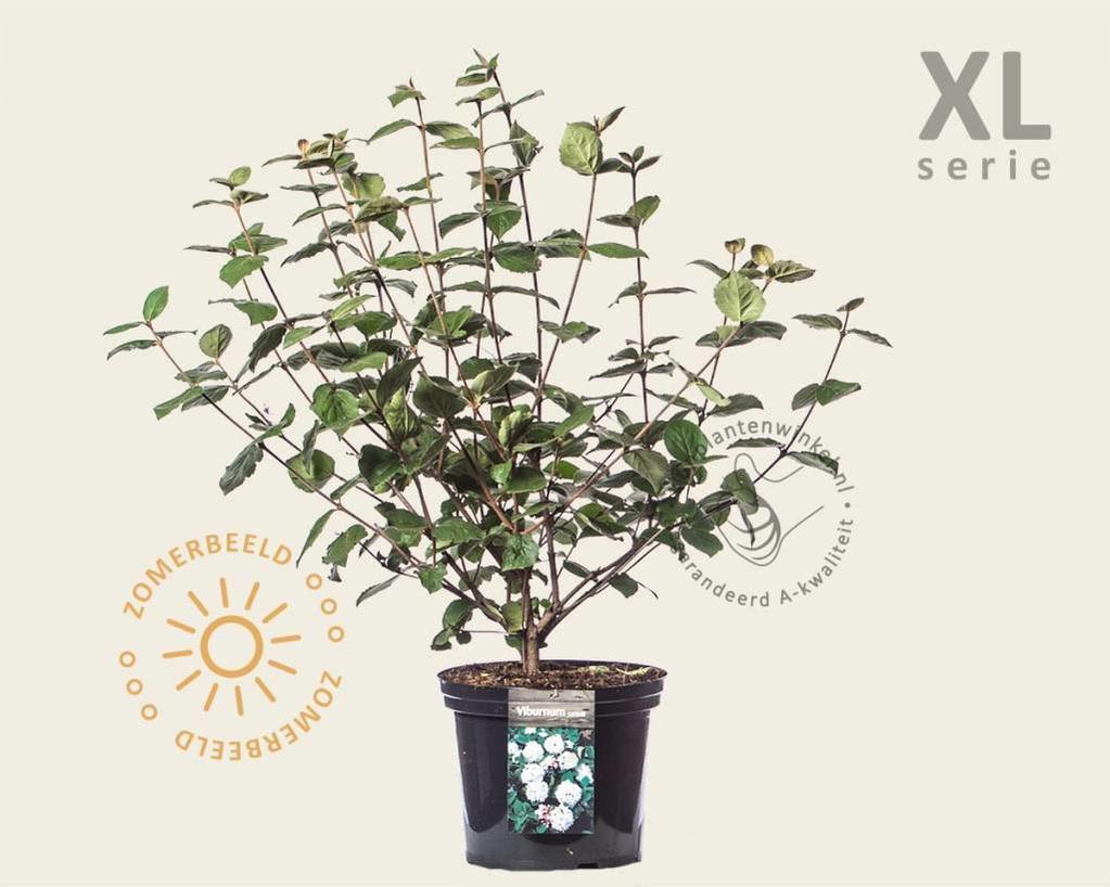 Viburnum carlesii - XL