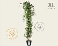 Clematis montana 'Alba' - XL