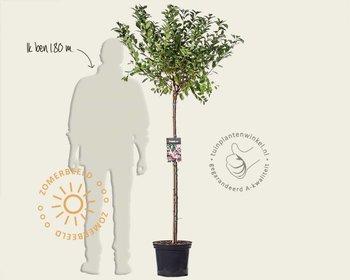 Prunus triloba - 120 cm stam