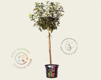 Viburnum tinus - 50 cm stam
