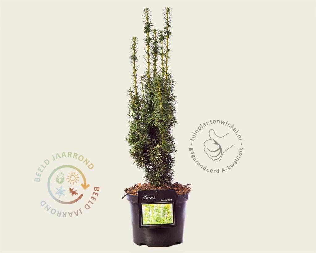 Taxus baccata 'David'