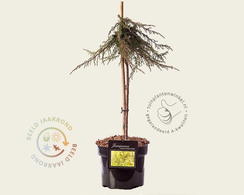 Juniperus communis 'Green Carpet' - 40 cm stam