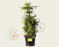 Juniperus media 'Pfitzeriana Aurea'