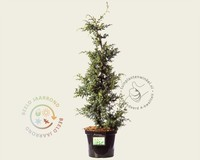 Juniperus chinensis 'Blue Alps' 060/080