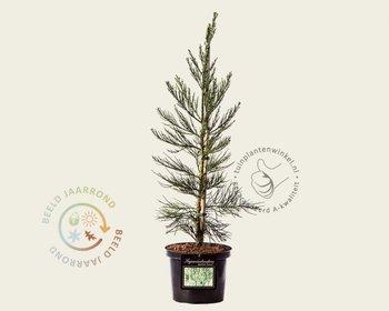 Sequoiadendron giganteum 'Glaucum' 060/80