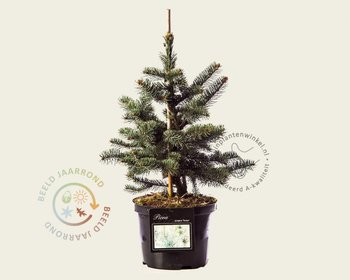 Picea pungens 'Koster' 030/40