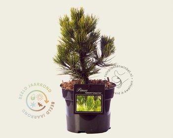 Pinus heldreichii 'Compact Gem' 020/25
