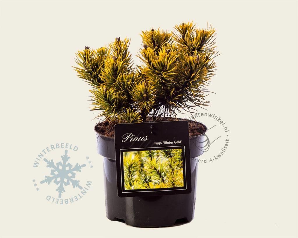 Pinus mugo 'Wintergold'