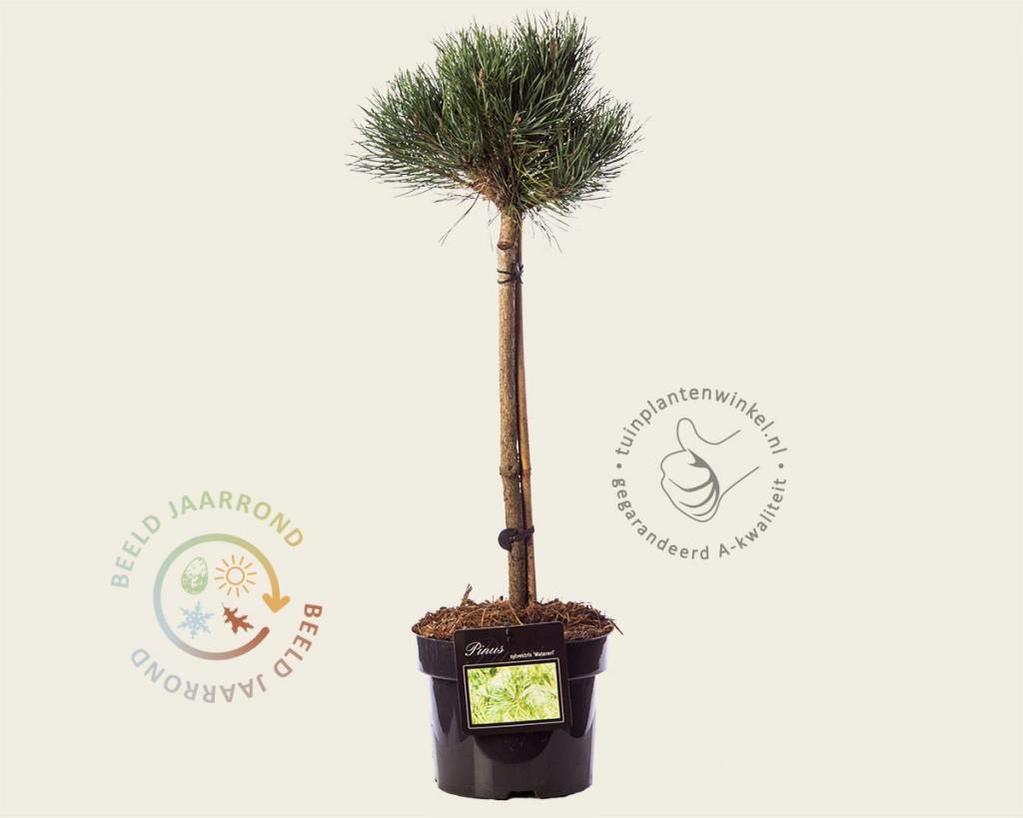 Pinus sylvestris 'Watereri' - 40 cm stam