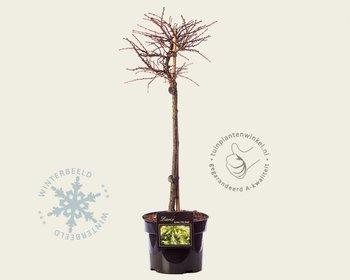 Larix decidua 'Little Bogle' - 40 cm stam
