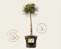 Pinus mugo 'Varella'- 40 cm stam