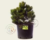 Pinus heldreichii 'Compact Gem' 035/45