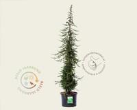 Juniperus conferta 'Blue Pacific'