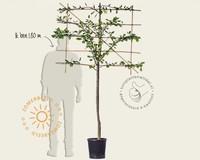 Prunus domestica 'Opal' - halfstam lei-vorm