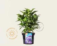 Hydrangea macrophylla 'Little Purple'