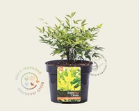 Nandina domestica 'Lemon Lime'