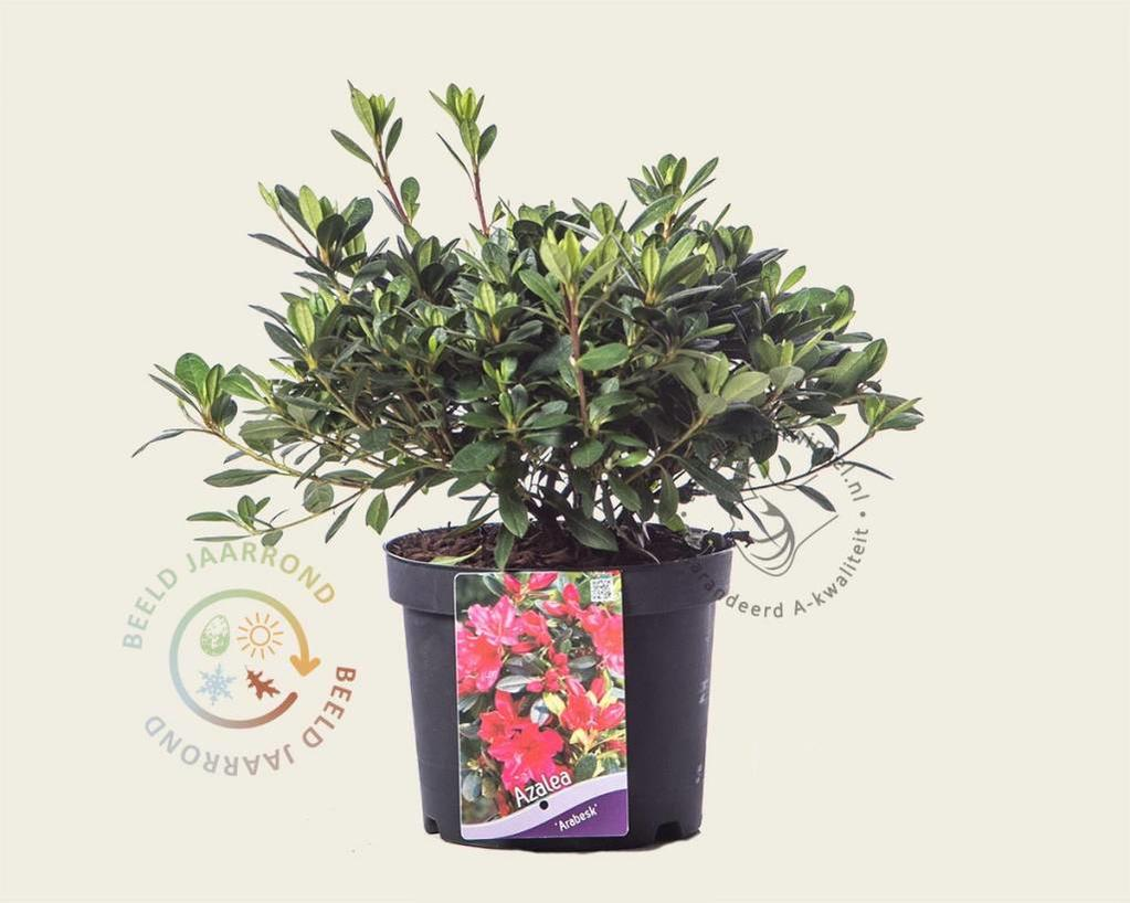 Rhododendron Azalea 'Arabesk'