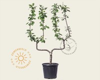 Prunus domestica 'Opal' - dubbele U-vorm