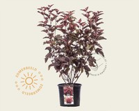 Physocarpus opulifolius 'Little Angel'