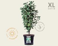 Amelanchier alnifolia 'Obelisk' - XL