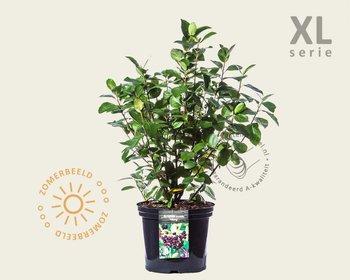Aronia prunifolia 'Viking' - XL
