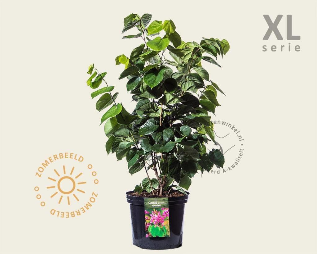 Cercis chinensis 'Avondale' - XL