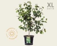 Cornus kousa 'Satomi' - XL