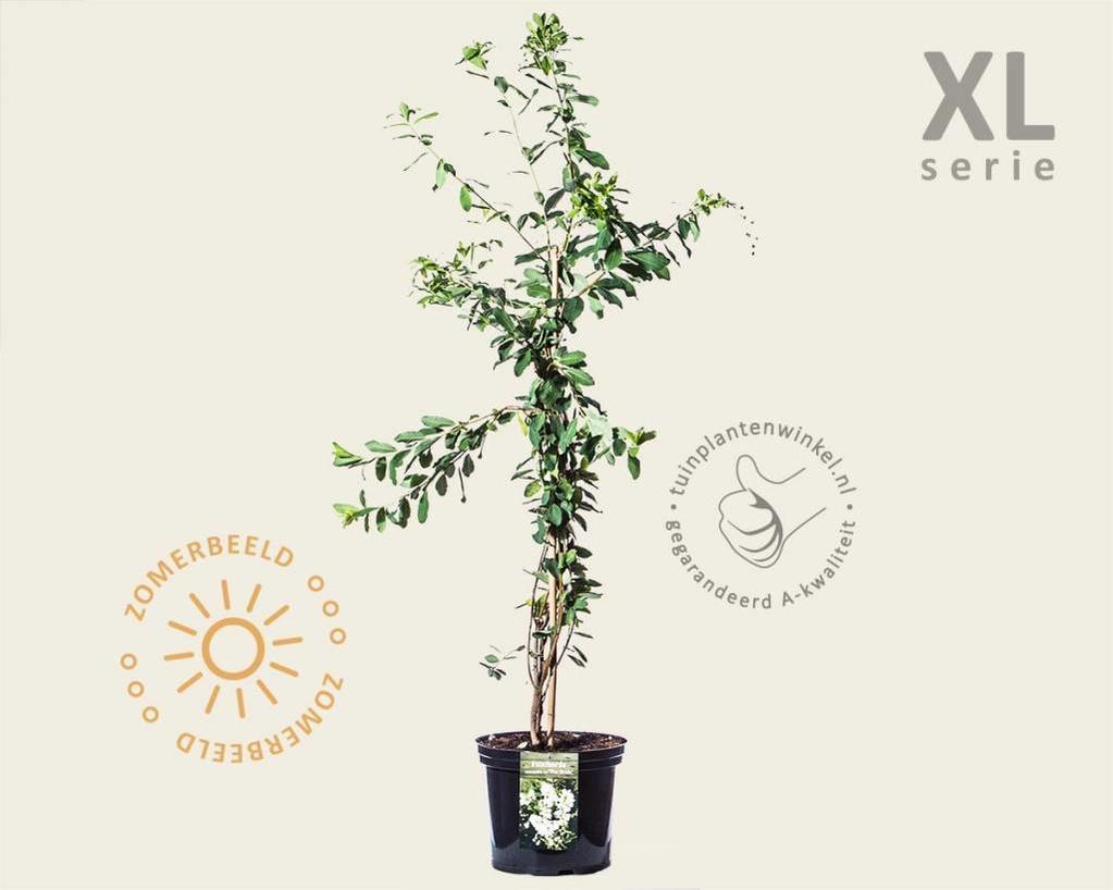 Exochorda x macrantha 'The Bride' - XL