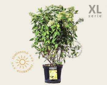 Hydrangea paniculata 'Limelight' - XL