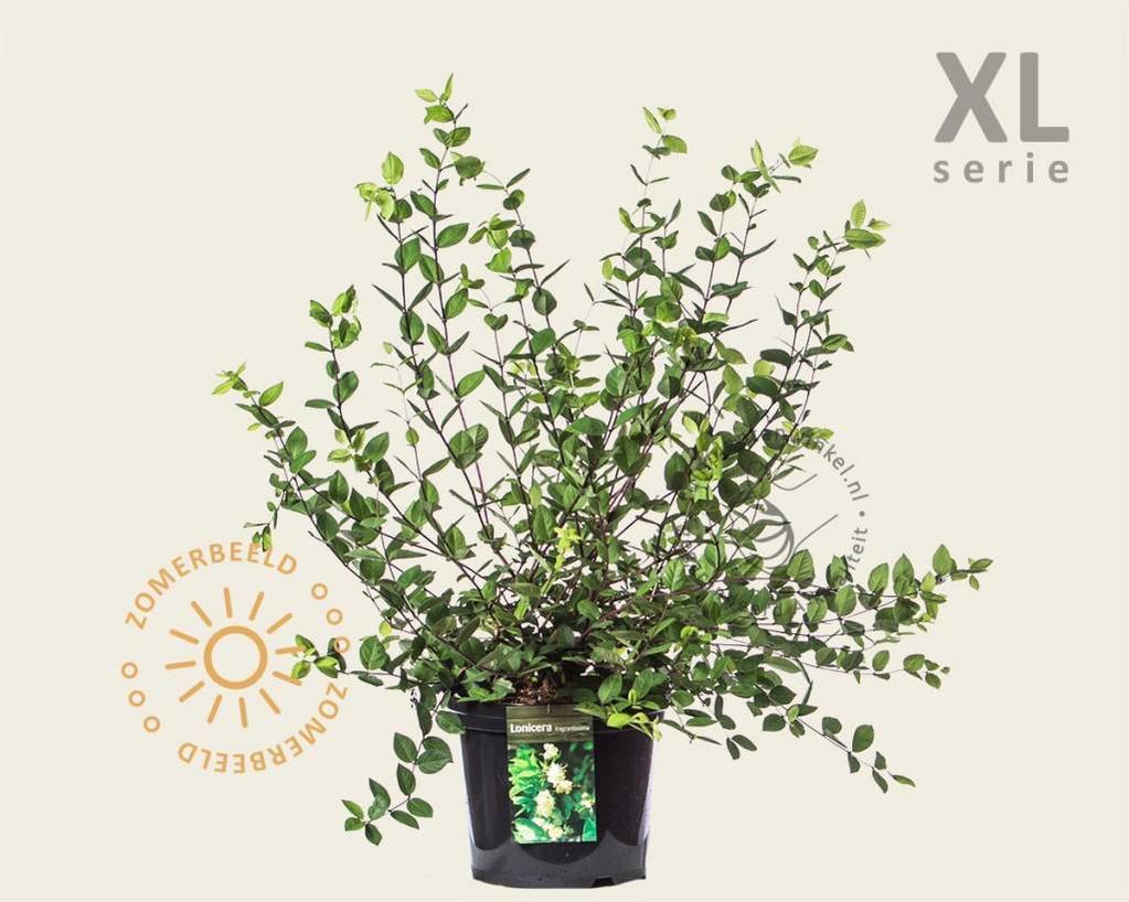 Lonicera fragrantissima - XL