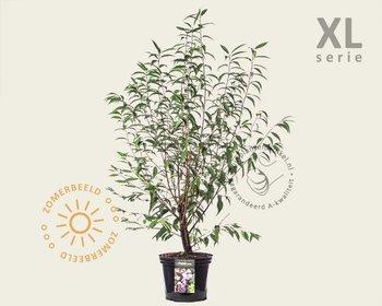 Prunus serrula - XL