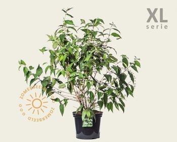 Viburnum plicatum 'Kilimandjaro' - XL