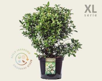 Viburnum tinus 'Eve Price' - XL