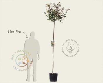 Photinia fraseri 'Red Robin' - 180 cm stam