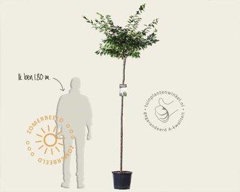 Prunus subhirtella 'Autumnalis Rosea' - 180 cm stam