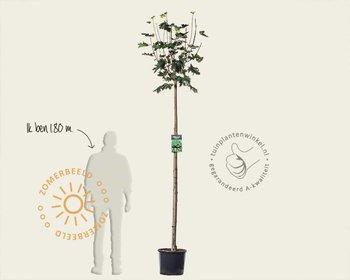 Acer platanoides 'Globosum' - 180 cm stam