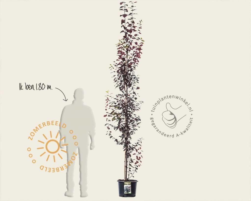 Prunus cerasifera 'Nigra' - beveerd