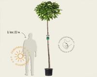 Catalpa bignonioides 'Nana' - 200 cm stam