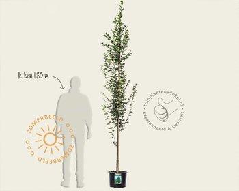Carpinus betulus 'Fastigiata' - beveerd