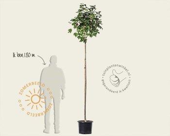 Hibiscus x 'Resi' - 180 cm stam