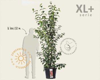 Acer davidii - XL+