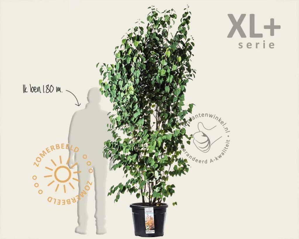 Cercidiphyllum japonicum - XL+